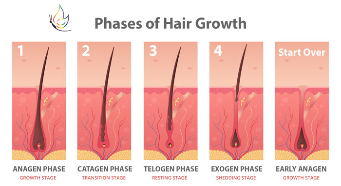 Phases of Hair Growth chart